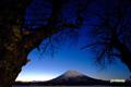 月明かりのサクランボの木と羊蹄山