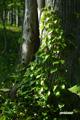 這い昇るツル~イワガラミ