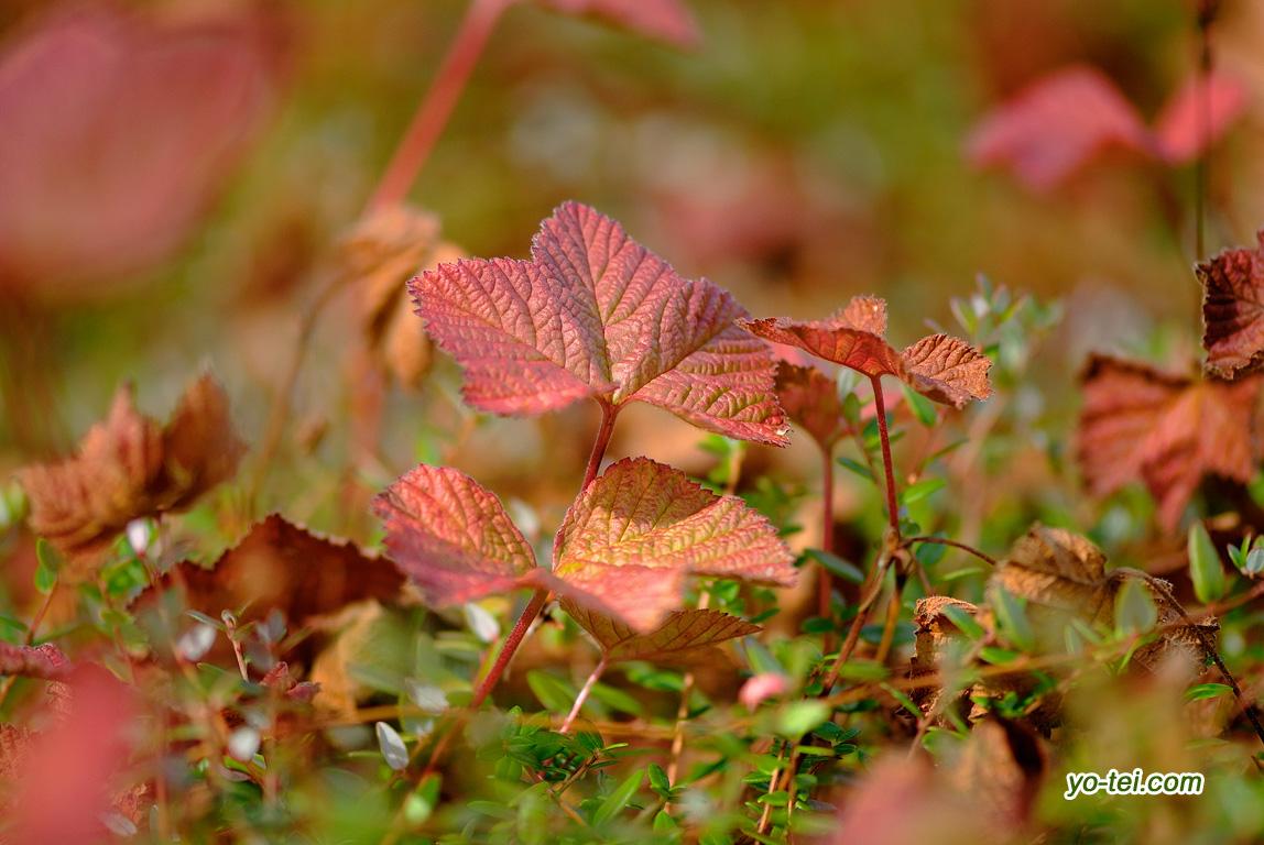 ホロムイイチゴの紅葉
