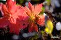 紅葉~チシマフウロ