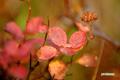 紅葉~エゾノマルバシモツケ