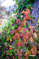紅葉~オツタウルシ