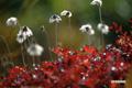 チングルマ~紅葉