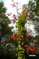 ツタウルシ~紅葉