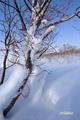 ツルアジサイ~冬芽