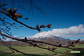 ふくらみ始めた「エゾヤマザクラ」の蕾と羊蹄山