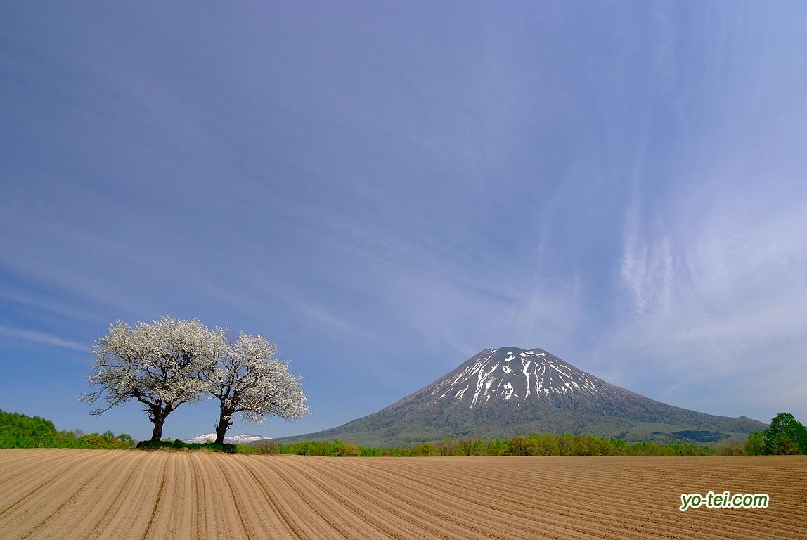 満開のサクランボの木と羊蹄山