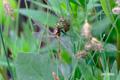 カオジロトンボの羽化~5