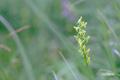 ホソバノキソチドリ