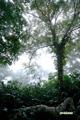 霧中のダケカンバ