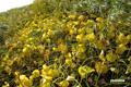 イワイチョウ~黄葉