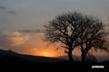 朝焼け・サクランボの木