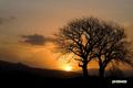 朝陽・サクランボの木
