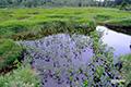 神仙沼湿原~揺れるミツガシワ