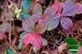ゴゼンタチバナの紅葉