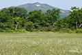 ワタスゲの湿原