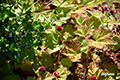 ホロムイイチゴの実